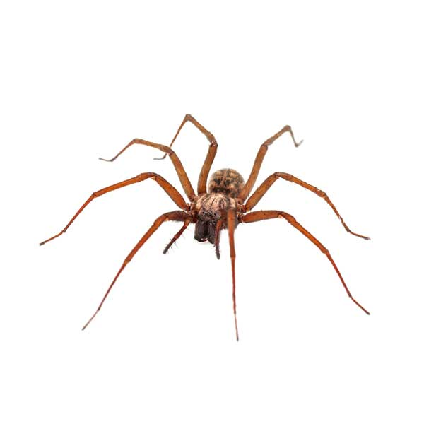 Domestic house spiders in Las Vegas NV