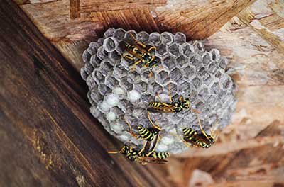 Bee, Hornet, and Wasp Nest Removal by Rentokil in Las Vegas NV